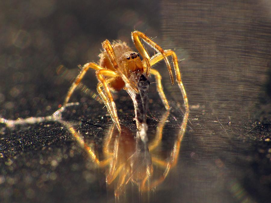 araneidae 3