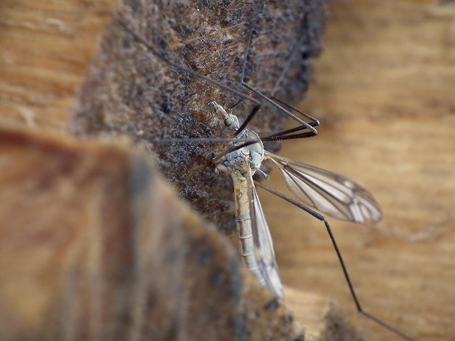 176 koziółka komarnica  - 2014-05-29